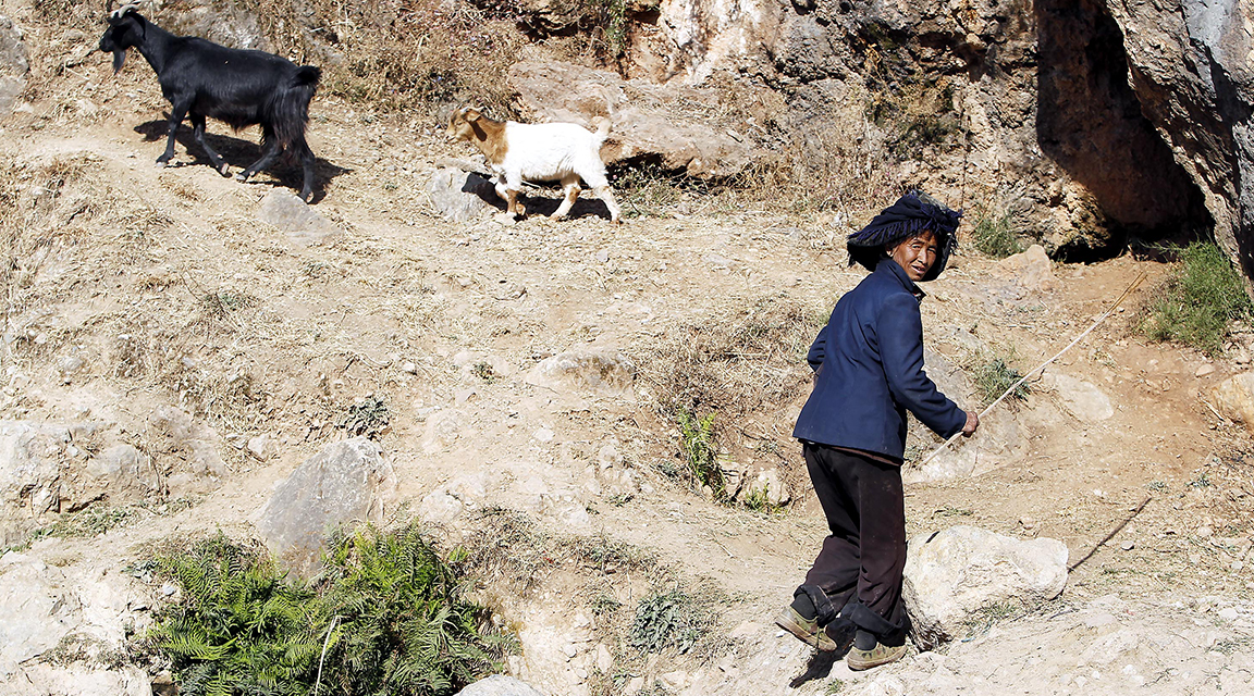 A farmer herding their goats
