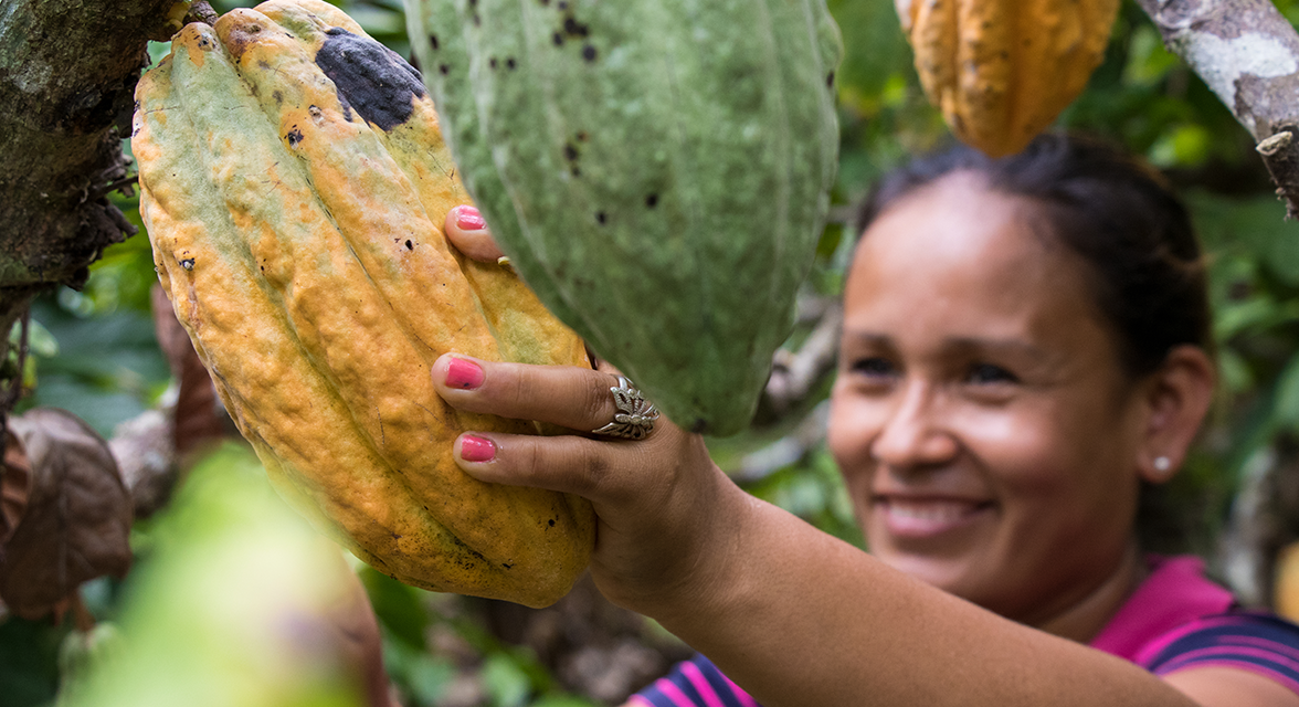 Local woman picking a large cacao fruit from a tree