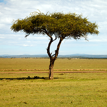 Acacia tree in the middle of the savanna
