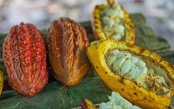 Cacao pods on a table showing the cacao fruit