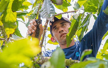 A farmer trims cacao trees at WE Charity's Agriculture Learning Center in Ecuador