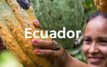 Local woman picking a cacao fruit off tree in Ecuador