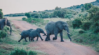 Family of elephants crossing the road in the savanna