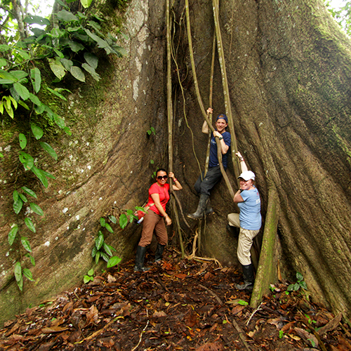 Travellers climbing large tree in Ecuador rainforest