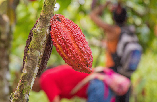 Cacao pod hanging on a cacao tree