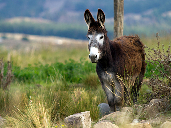 Donkey in the Andes