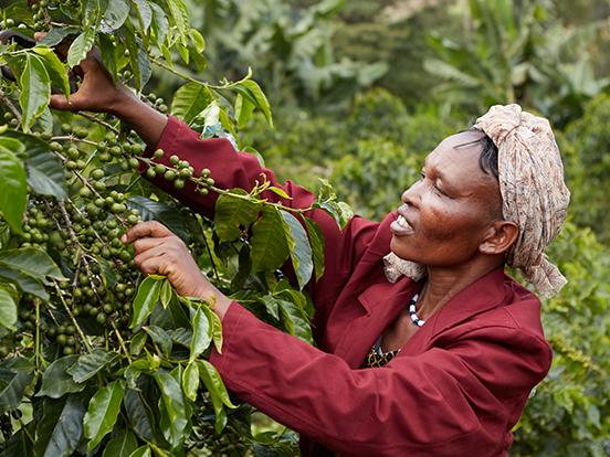A coffee farmer reaching for leafy branches to pick coffee berries